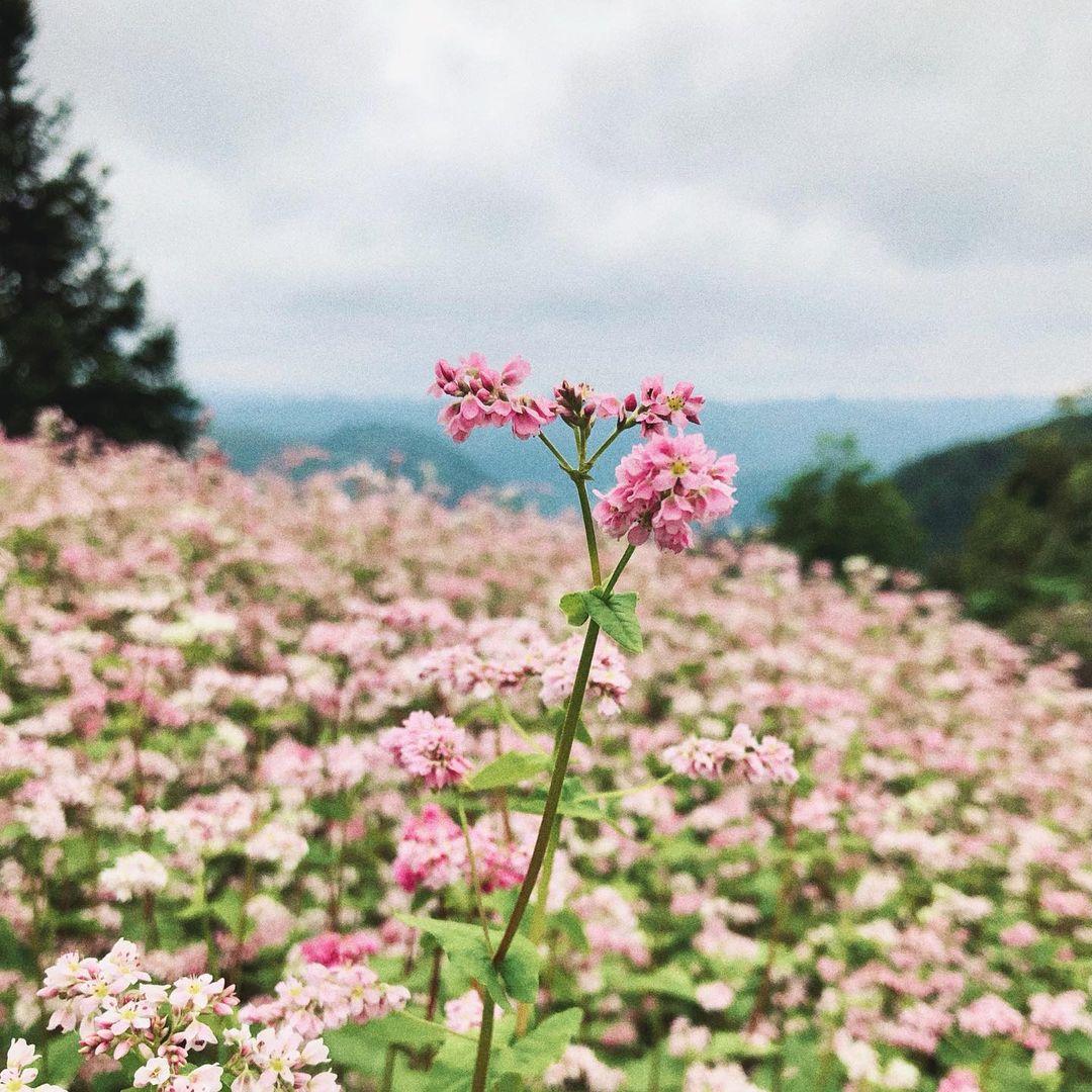 Mùa hoa tam giác mạch tháng 10 Sapa
